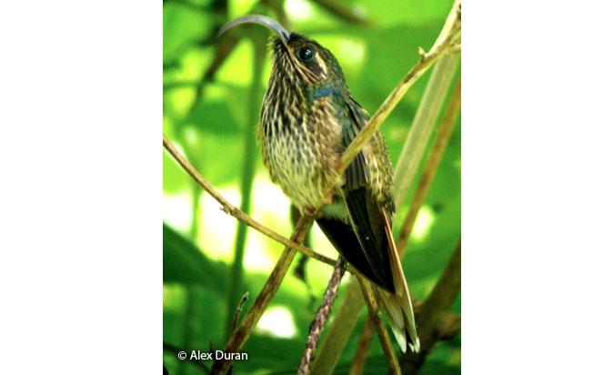 buff-tailed-sicklebill