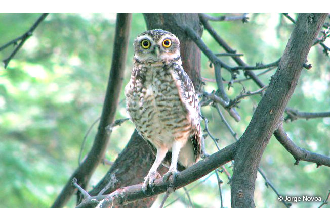 burrowing_owl