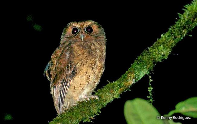 cinnamon_screech-owl