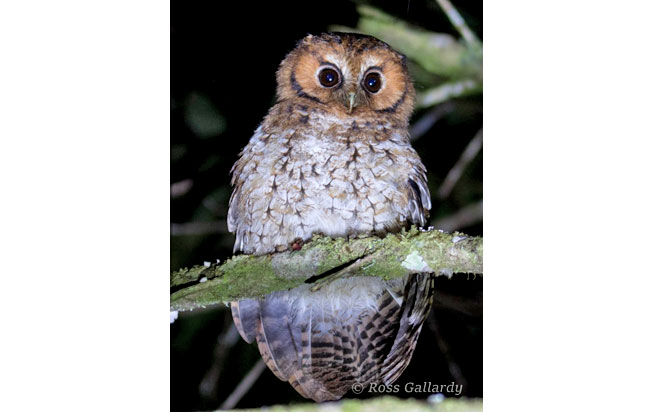 cloud_forest_screech-owl
