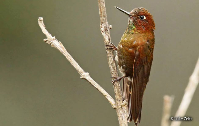 coppery-metaltail