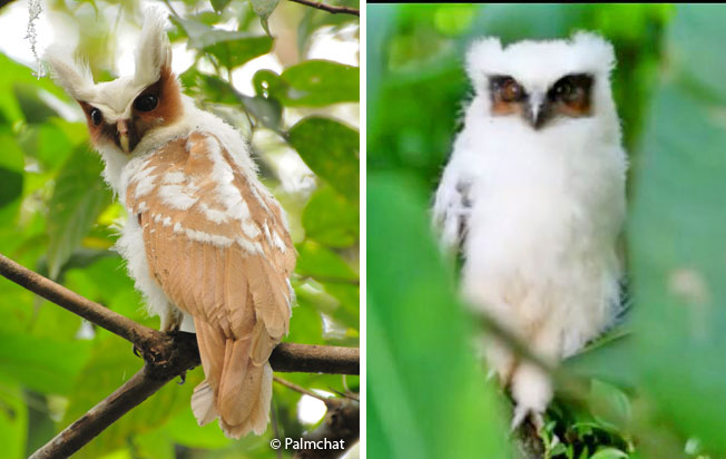 crested_owl