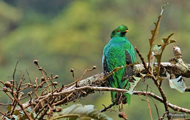 crested_quetzal