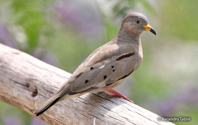 croaking_ground-dove