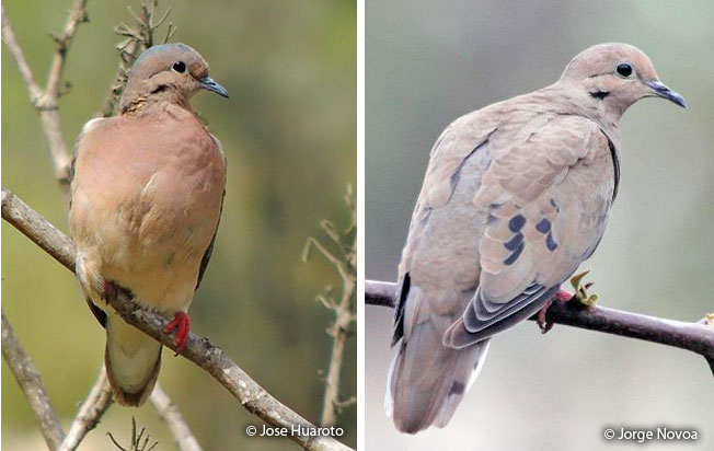 eared_dove