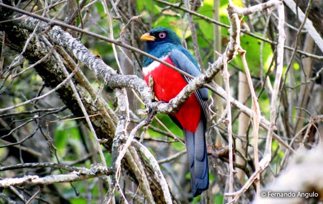 ecuadorian-trogon