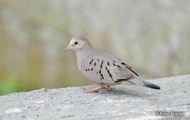 ecuadorian_ground-dove