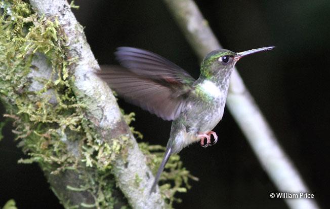 ecuadorian_piedtail