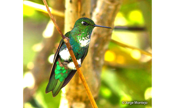 emerald-bellied-puffleg