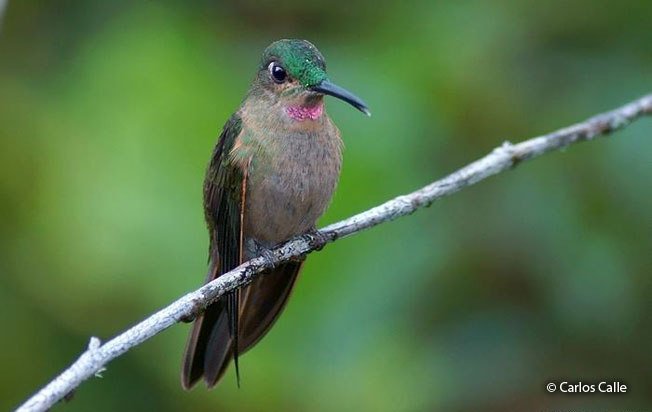 fawn-breasted_brilliant