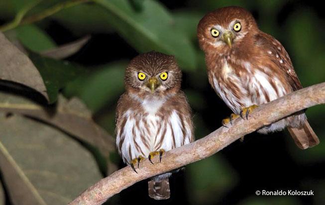 ferruginous_pygmy-owl