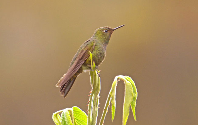 fire-throated_metaltail