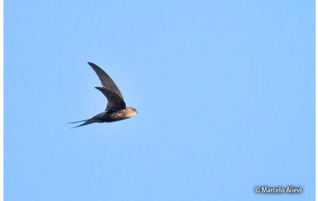 fork-tailed_palm-swift