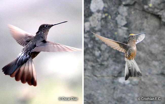 giant_hummingbird