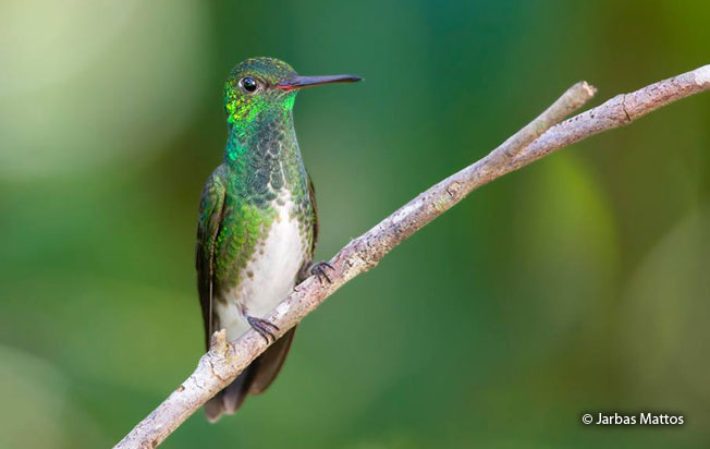 glittering-throated-emerald