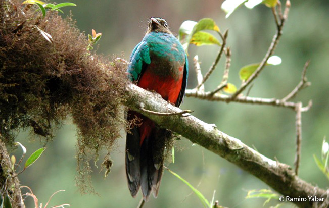 golden-headed_quetzal