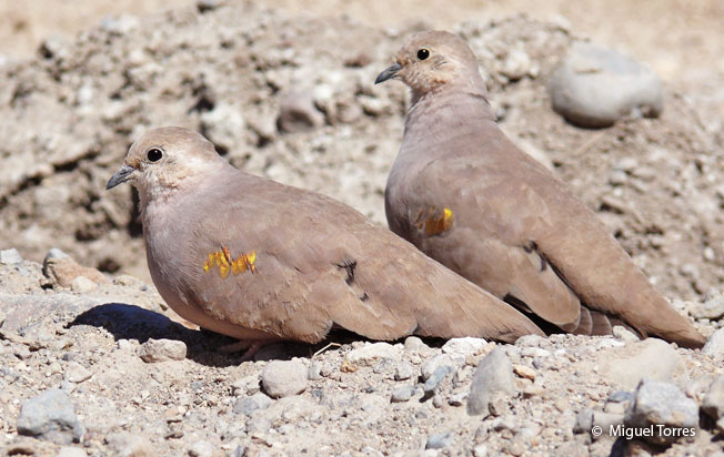 golden-spotted_ground-dove