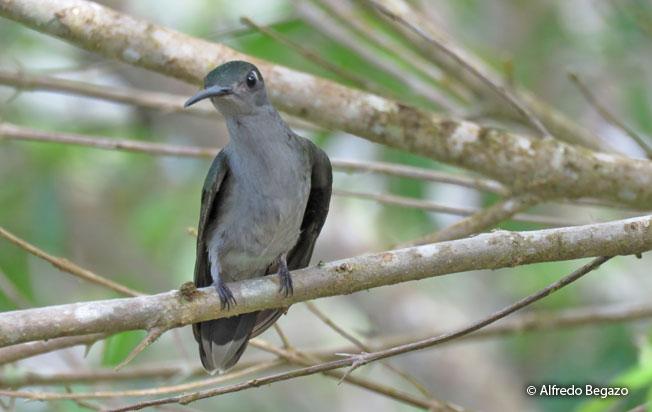 gray-breasted_sabrewing