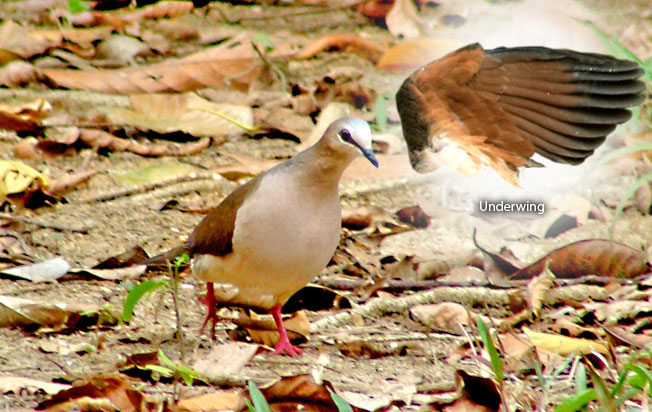 gray-fronted-dove