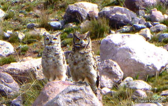 great-horned_owl