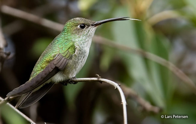 green-and-white_hummingbird