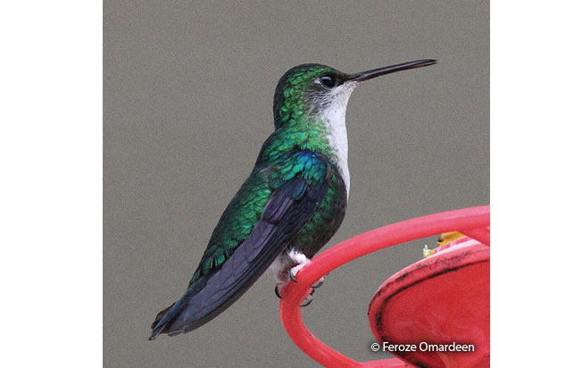 green-crowned_woodnymph