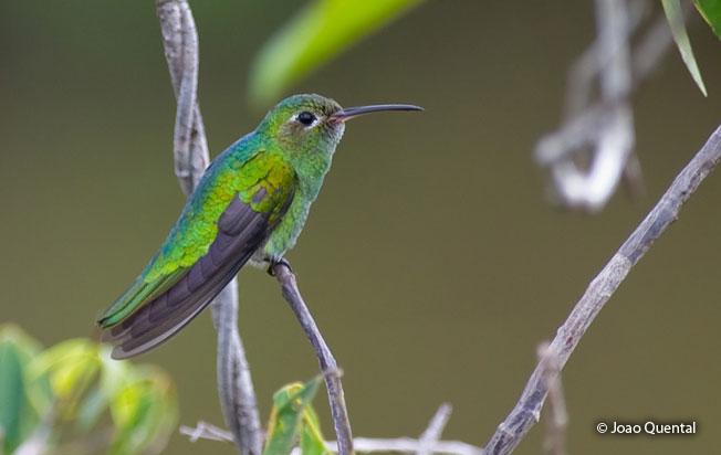 green-tailed_goldenthroat