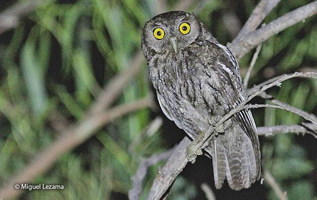 koepcke's_screech-owl