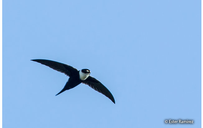 lesser_swallow-tailed_swift