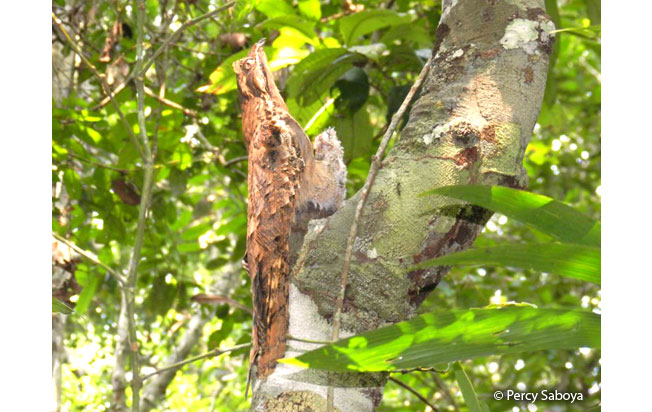 long-tailed_potoo