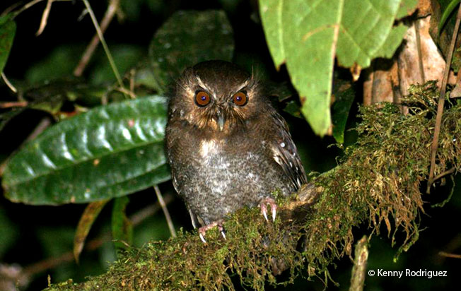long-whiskered-owlet