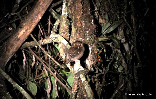 long-whiskered-owlet
