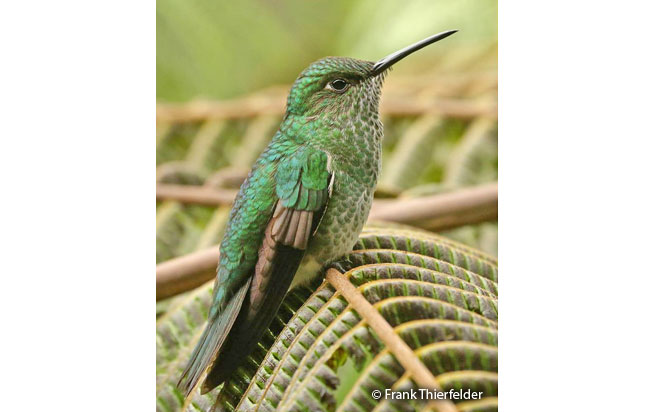 many-spotted_hummingbird