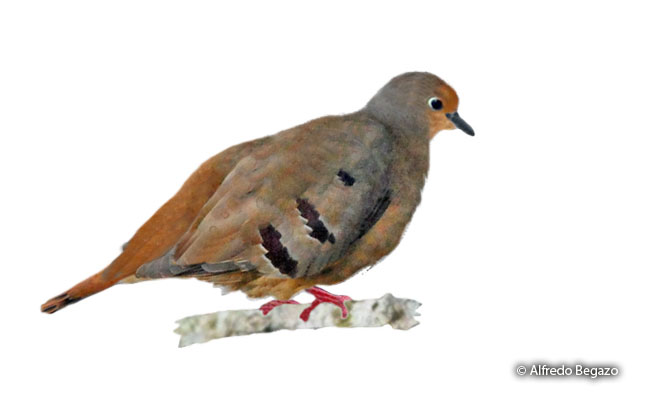 maroon-chested-ground-dove