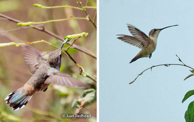 oasis_hummingbird