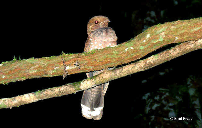 ocellated-poorwill