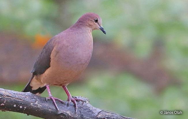 ochre-bellied_dove
