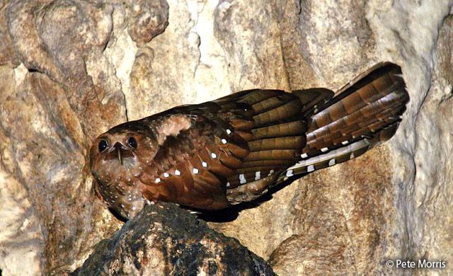 oilbird