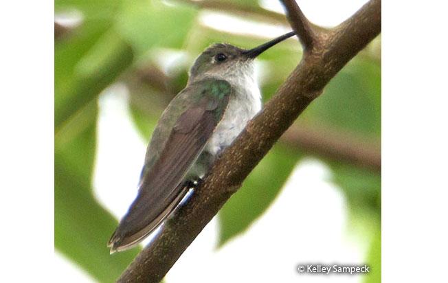 olive-spotted_hummingbird