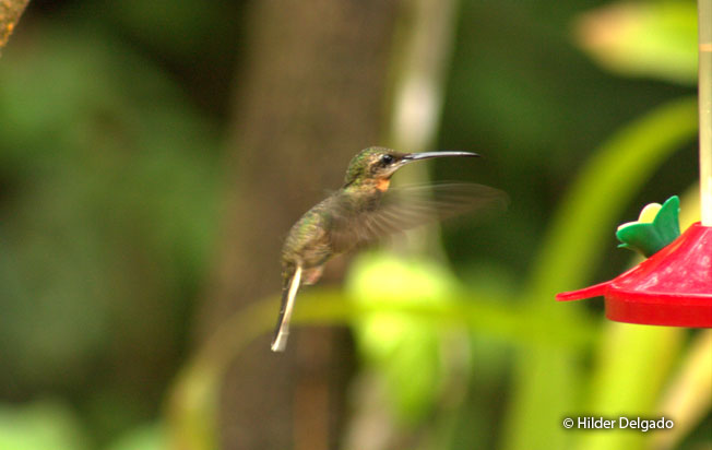pale-tailed-barbthroat