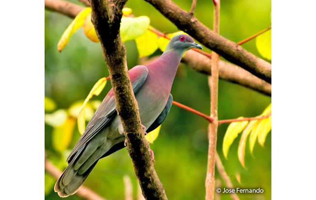 pale-vented_pigeon