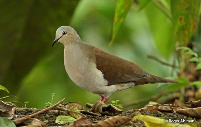 pallid-dove