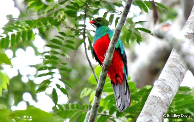 pavonine_quetzal