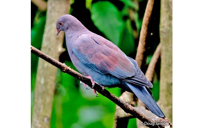 peruvian_pigeon
