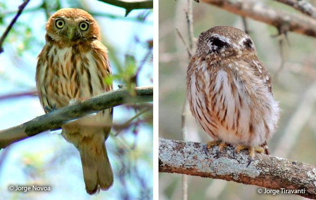 peruvian_pygmy-owl