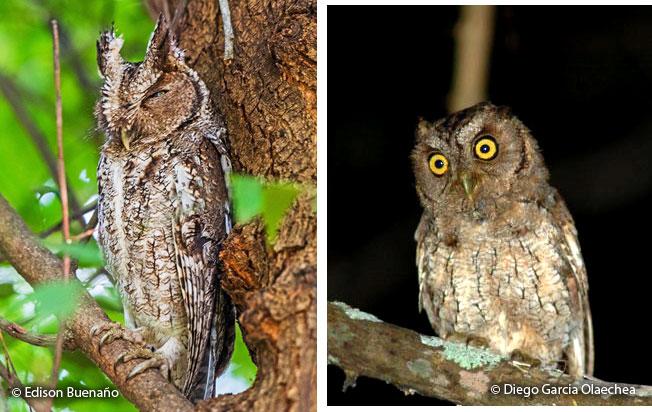 peruvian_screech-owl
