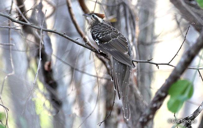 pheasant_cuckoo