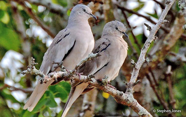 picui_ground-dove