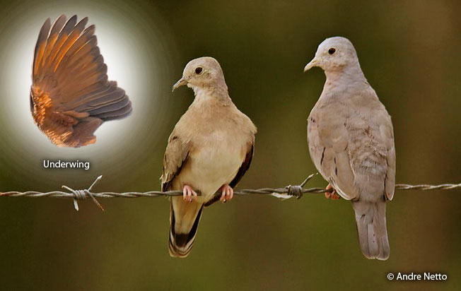 plain-breasted_ground-dove