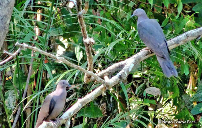plumbeous-pigeon